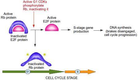 Active RB (retinoblastoma protein) inactivates E2F protein