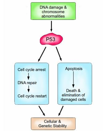 P53 is a vital protein; more than half of all cancers have inactive p53