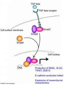Picture showing TGF beta signaling pathway