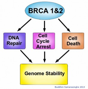 Graphic showing roles of BRCA 1 and 2
