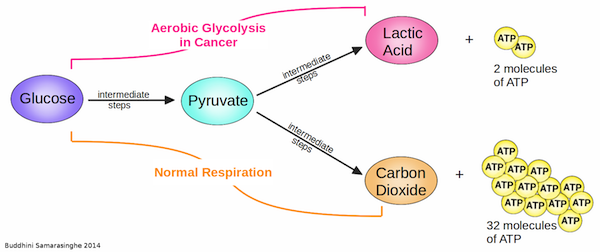 Cells undergoing aerobic respiration and normal respiration