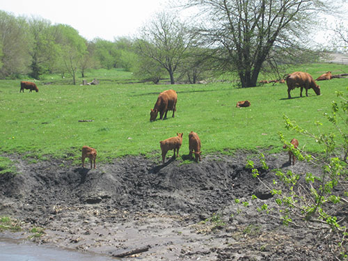 Picture of livestock near stream