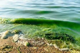 Toxic algal bloom picture